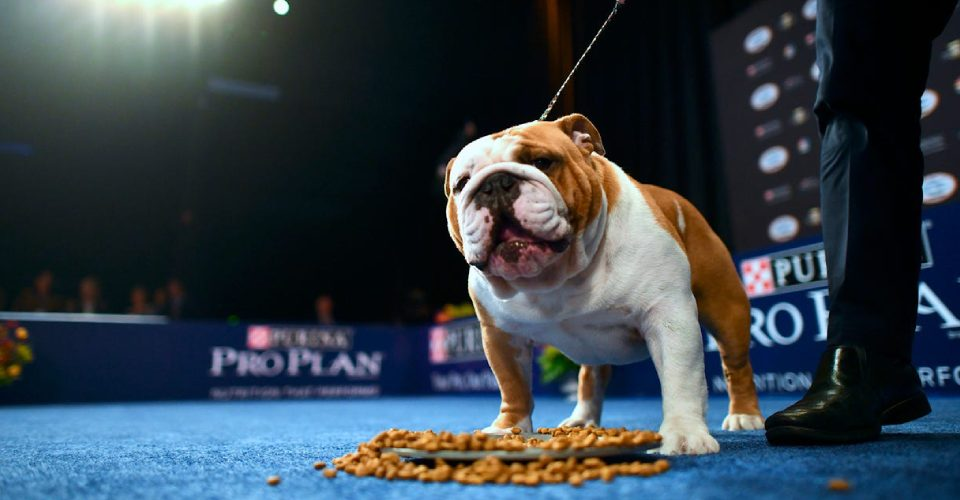 A Bulldog Getting Ready For The Dog Show With His Owner.