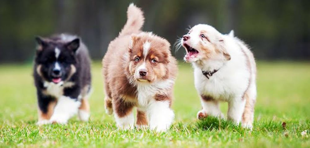 Three Dogs Walking On The Lawn Area.