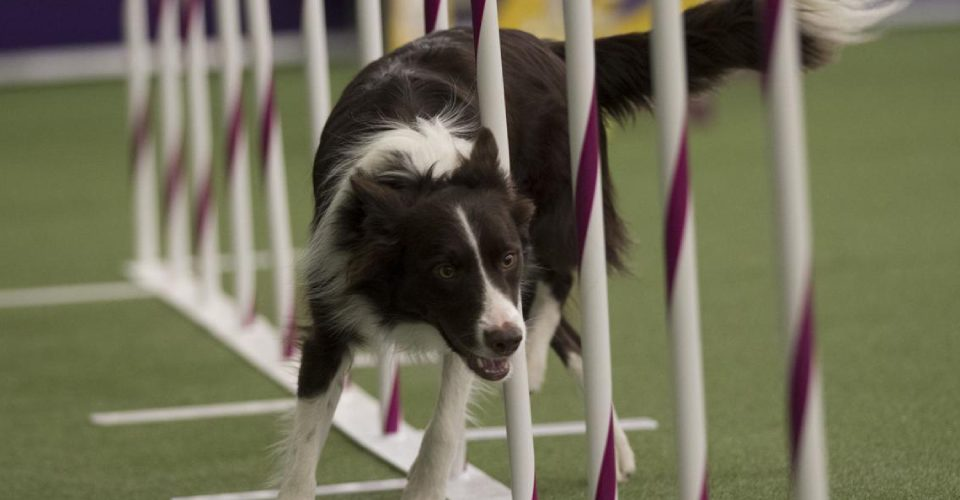 dog-show-competition